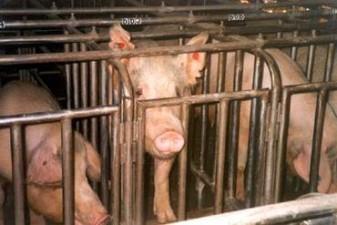 varkens in de vleesindustrie